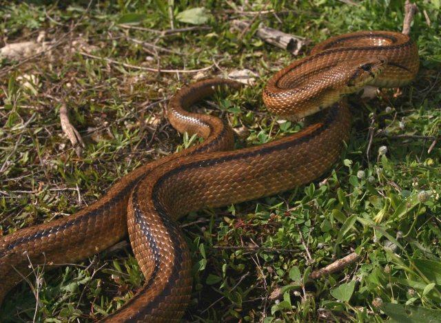 Ladder snake (Rhinechis scalaris)