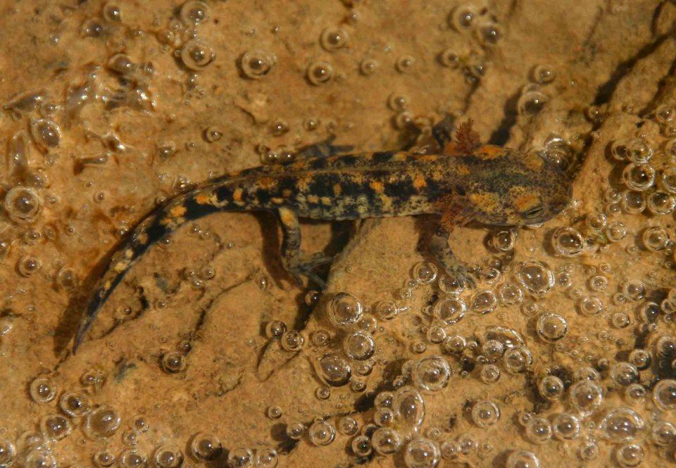 Larvae of Fire salamander (Salamandra salamandra)