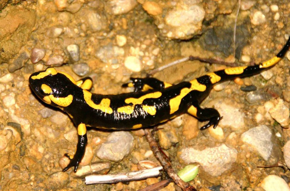 Male Fire salamander (Salamandra salamandra) from the same site as the female