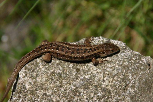 Sand lizard (Lacerta agilis garzoni)
