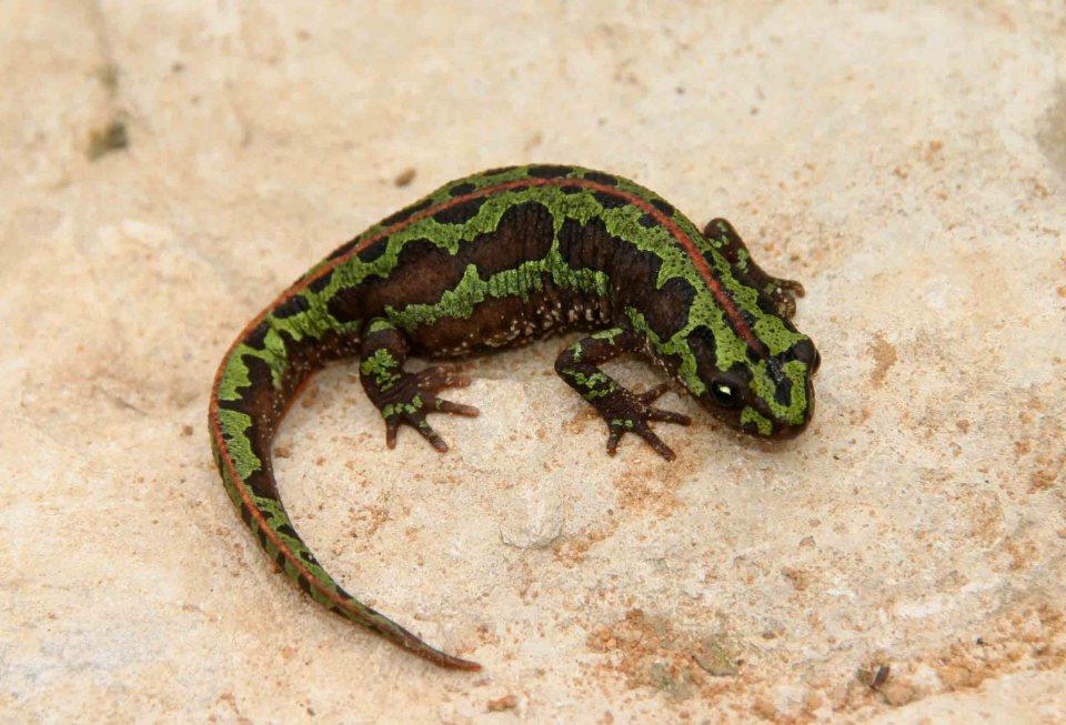 Female marbled newt (Triturus pygmaeus)