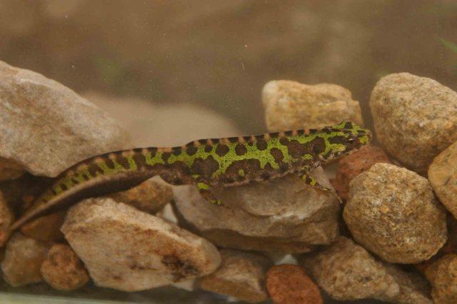 Male marbled newt (Triturus pygmaeus)