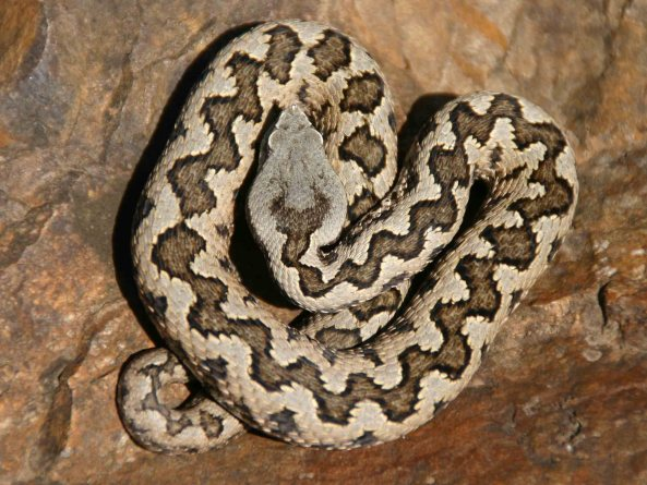 Lataste's viper (Vipera latastei)
