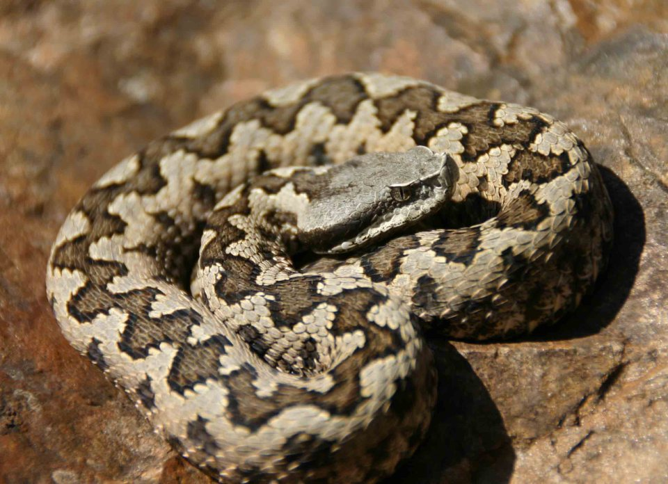 The only Lataste's viper (Vipera latastei) found on the trip