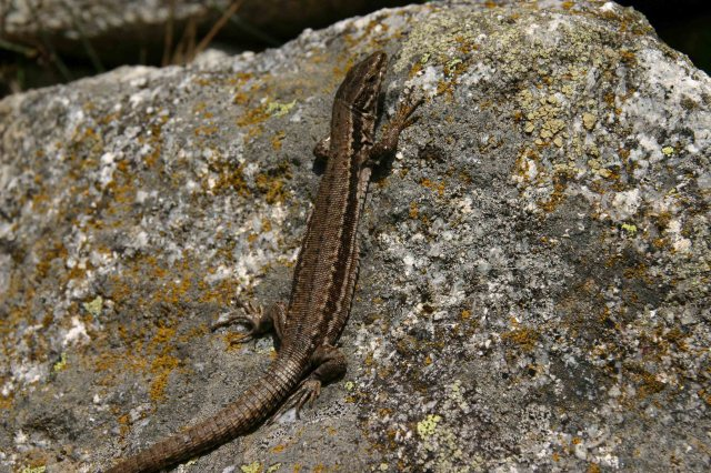 Female Common wall lizard (Podarcis muralis)