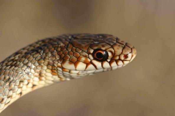 Caspian whip snake (Dolichophis caspius)