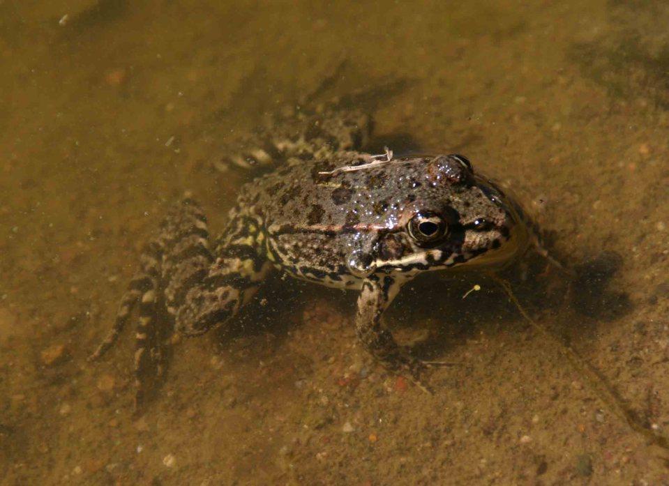 Levant water frog (Pelophylax bedriague)