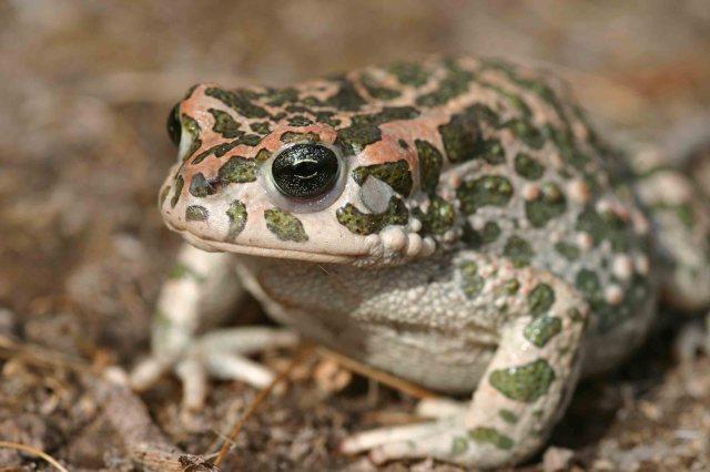 Big female Green toad (Bufo viridis)