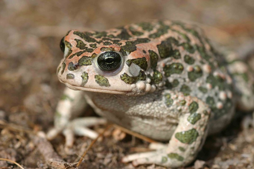 Big female Green toad (Bufo viridis)