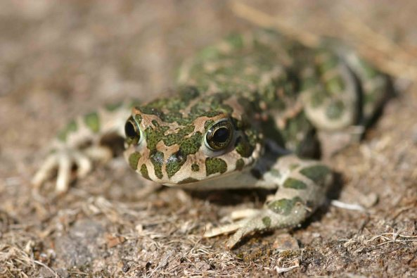 Male Green toad (Bufo viridis)