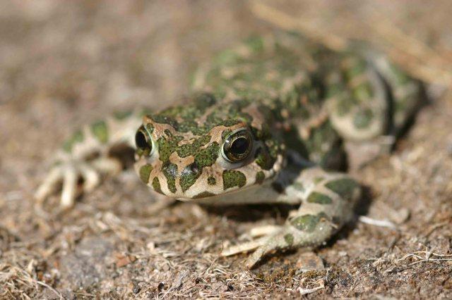 Male Green toad (Bufo viridis)
