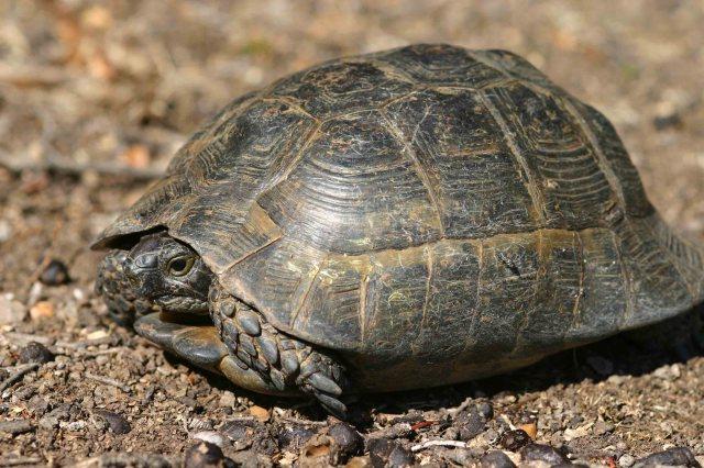 Spur-thighed tortoise (Testudo graeca)