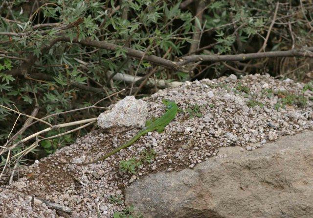 Balkan green lizard (Lacerta trilineata)