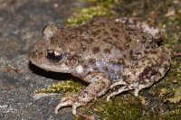 Midwife toad (Alytes obstretricans)