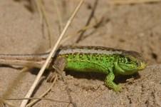 Sand lizard (Lacerta agilis)