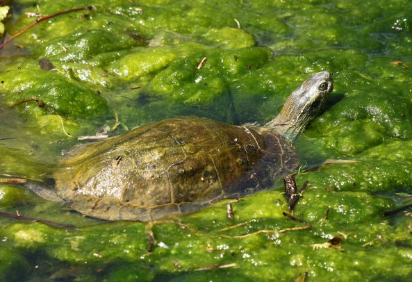 Balkan terrapin (Mauremys rivulata) found commonly at most fresh water sites we explored.