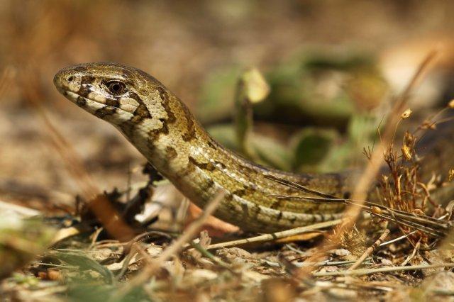 Juvenile Glass lizard (Pseudopus apodus)