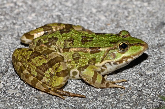 Marsh frog (Pelophylax ridibundus) could not stay off the roads at night.