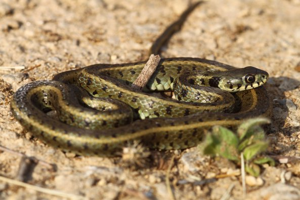 I lost count of many of these I removed from the roads around wetland areas: Grass snake (Natrix natrix persa)