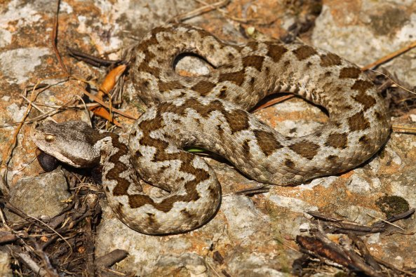 This angry female Nose-horned viper (Vipera ammodytes) was the only viper that I caught during the daytime.