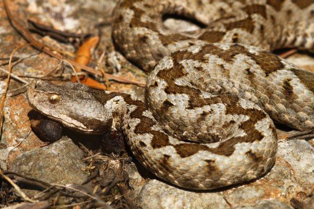 Nose-horned viper (Vipera ammodytes)