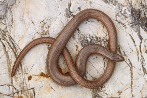 Greek slow worm (Anguis graeca) was found commonly during my time on Corfu.