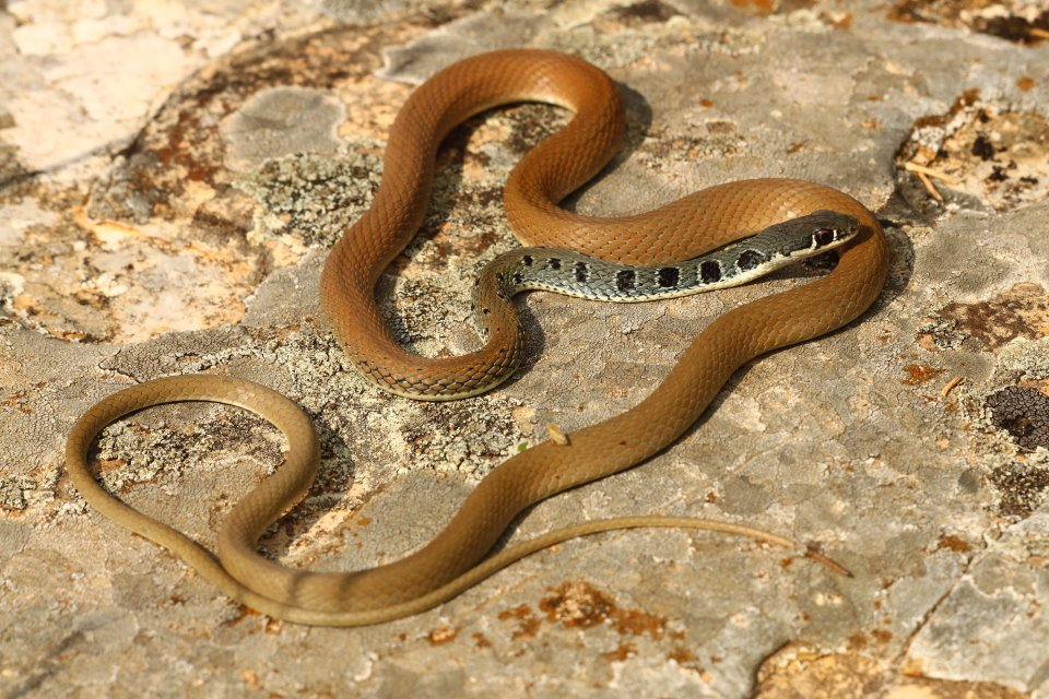 A more normal sized Dahl's whip snake (Platyceps najadum)