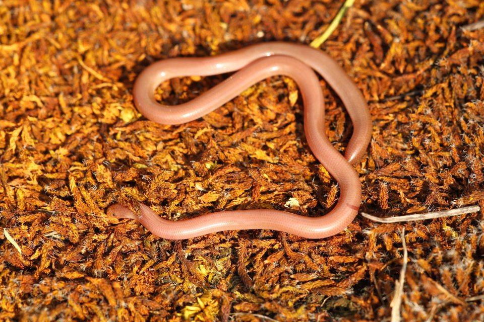 One of five Worm snake (Typhlops vermicularis) we found.