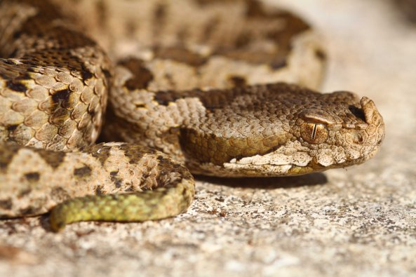 One evening I found this juvenile Nose-horned viper (Vipera ammodytes) under a stone.