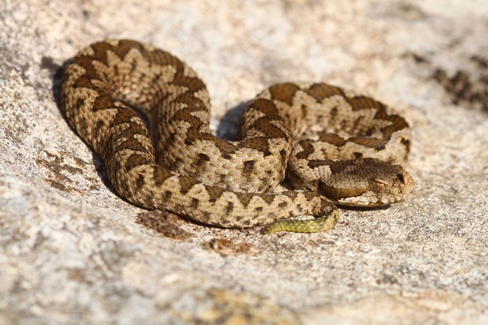 Juvenile Nose-horned viper (Vipera ammodytes)
