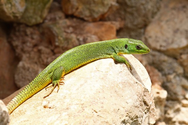 One of the few, not so shy Balkan green lizards (Lacerta trilineata)