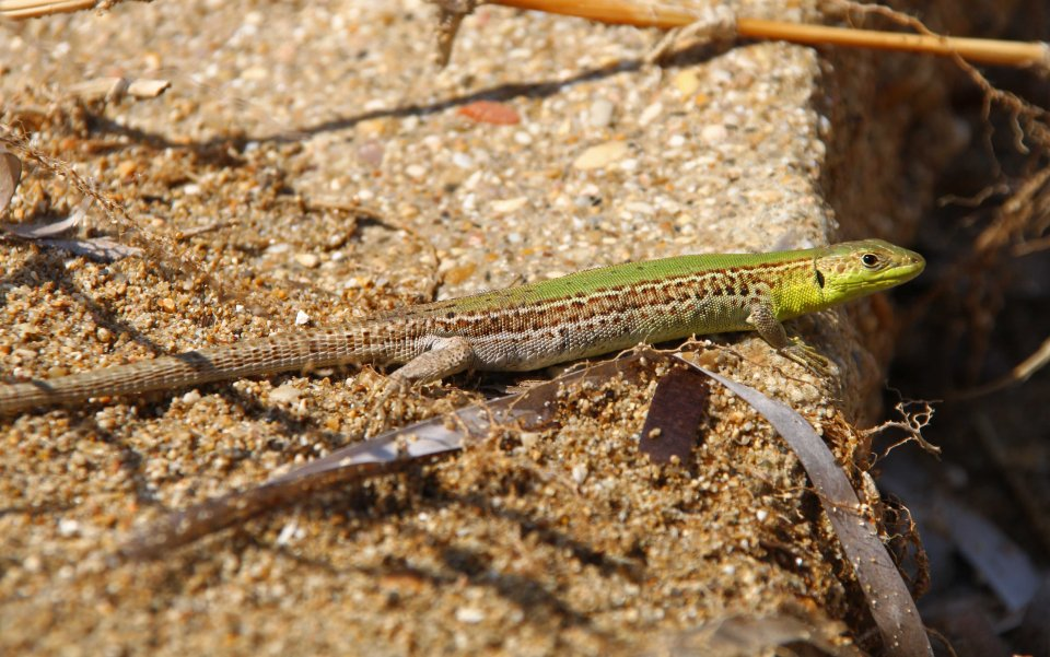 Balkan wall lizard (Podarcis tauricus) on the beach