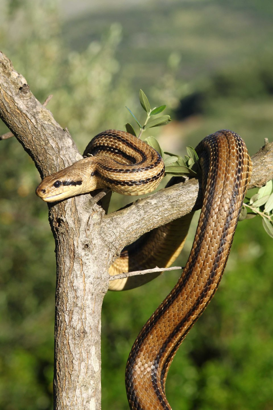 Another Four-lined snake (Elaphe quatuorlineata)