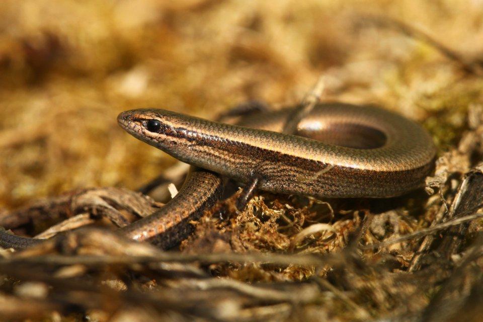 Snake-eyed skink (Ablepharus kitaibelli)