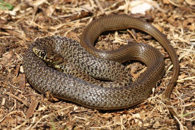 Balkan whip snake (Hierophis gemonensis)