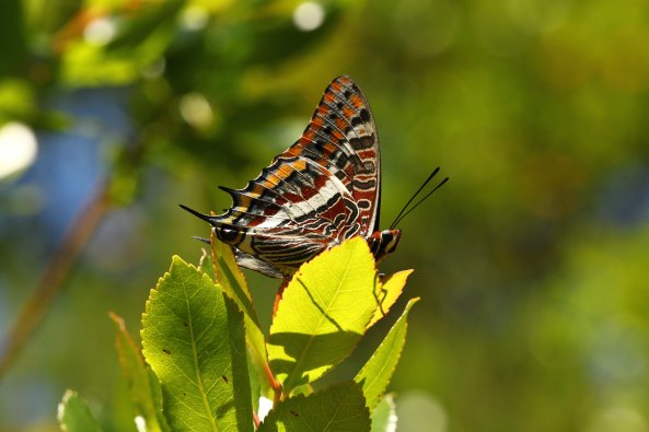 Two-tailed pasha