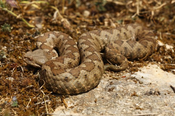 Female Nose-horned viper (Vipera ammodytes)