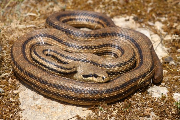 Tail less Four-lined snake (Elaphe quatuorlineata) found under a tin