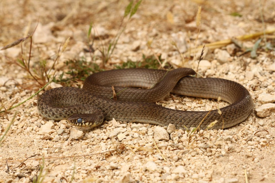 Balkan whip snake (Hierophis gemonensis) without a tail