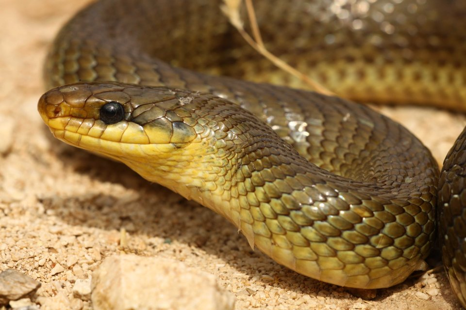 Aesculapian snake (Zamenis longissimus) 175cm female