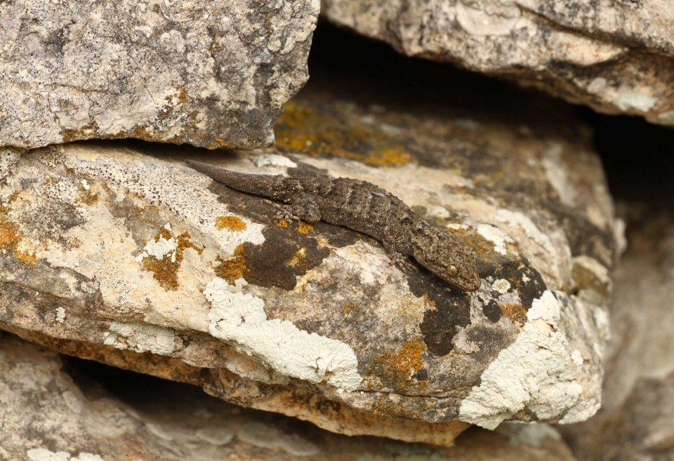 Kotschyi's gecko (Mediodactylus kotschyi)