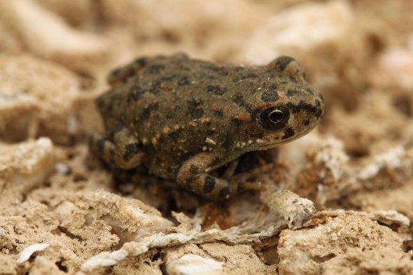 Baby green toad (Bufo viridis)