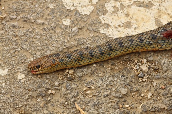 Just too late: a banded Caspian whip snake (Dolichophis caspius). Not common at all on Corfu.