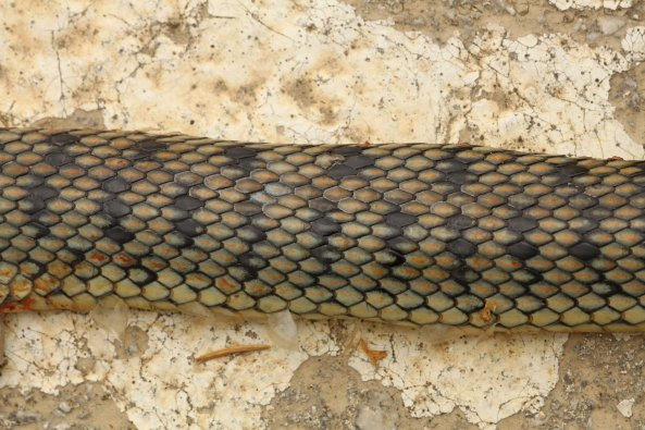 Bands of same adult snake, typical of around half of adults found on Corfu.