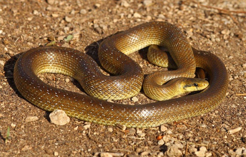 Aesculapian snake (Zamenis longissimus) (C) Matt Wilson