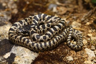 Four-lined snake (Elaphe quatuorlineata) juvenile
