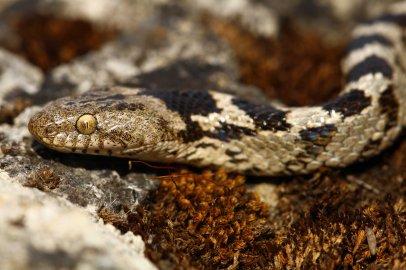 Cat snake (Telescopus fallax)