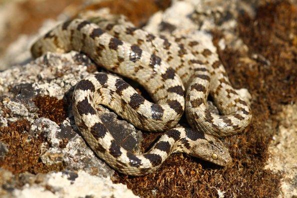 Cat snake (Telescopus fallax) (C) Matt Wilson