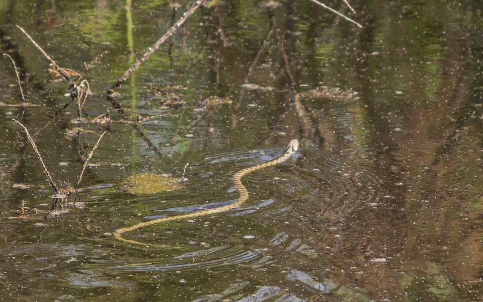 Milos grass snake (Natrix natrix schweizeri) (C) Carl Corbidge