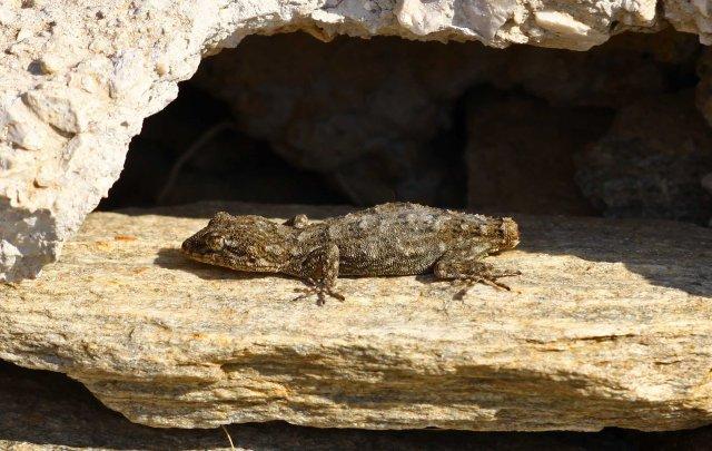 Kotschyi's gecko (Mediodactylus kotschyi) (C) Matt Wilson